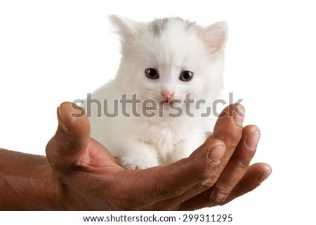 beautiful white kitten on a male hand isolated on white background