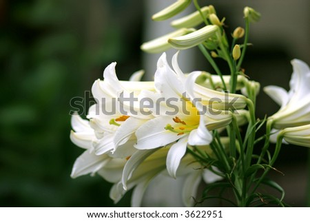 Beautiful white lilies in a spring garden.