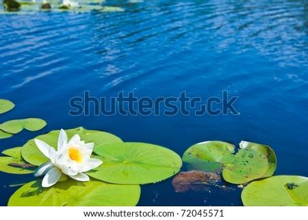 beautiful white lily - stock photo