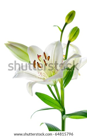 white lily stock images, royaltyfree images  vectors  shutterstock, Natural flower