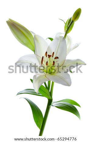 Beautiful white lily flowers, isolated on white - stock photo