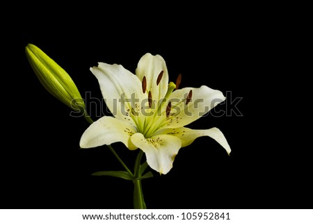 Beautiful white Lily on a black background - stock photo