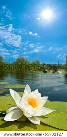 beautiful white lily under a sun - stock photo