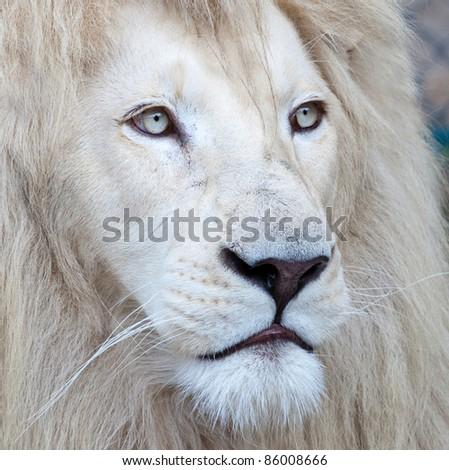 Beautiful white lion portrait - stock photo