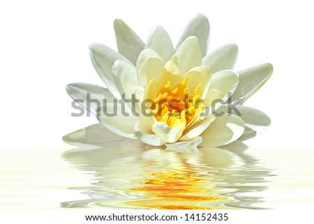 Beautiful white lotus flower floating in water - stock photo