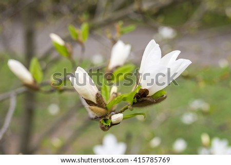 Beautiful white magnolia in spring with soft focus