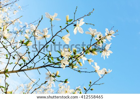 Beautiful white magnolias are in spring on a background blue sky
