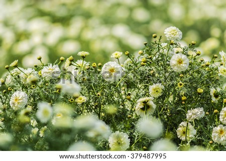 Beautiful White Marigold flowers surrounded by green and yellow leaves in a garden - stock photo