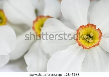 Beautiful white narcis close-up - stock photo