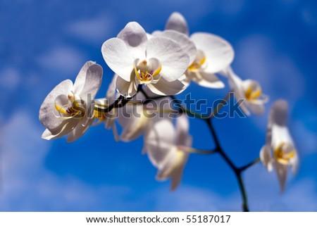 Beautiful White Orchid, blue sky. - stock photo