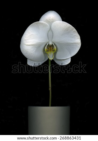 Beautiful white Orchid in a pot isolated on black background - stock photo