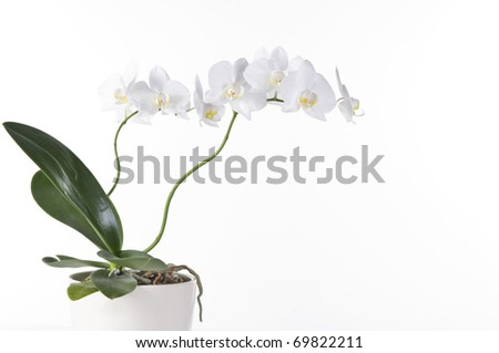 Beautiful white orchid in a pot  isolated over white background - stock photo