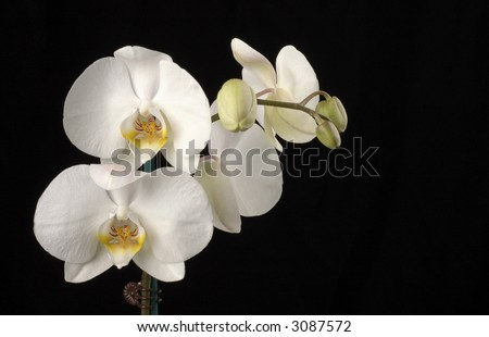 Beautiful white orchid on a black background.