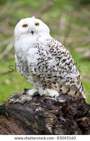 Beautiful white owl - stock photo
