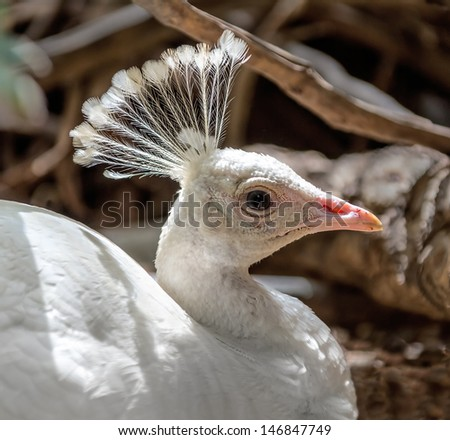 Beautiful white peacock - Israel - stock photo