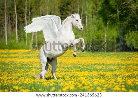 Beautiful white pegasus rearing up on the field with dandelions - stock photo