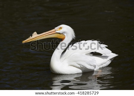 Beautiful White Pelican bird swimming