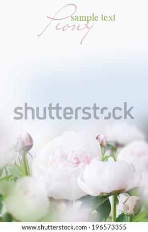 Beautiful white peonies  - stock photo