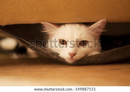 Beautiful white Persian cat with copper eyes peeking from inside the armchair - stock photo