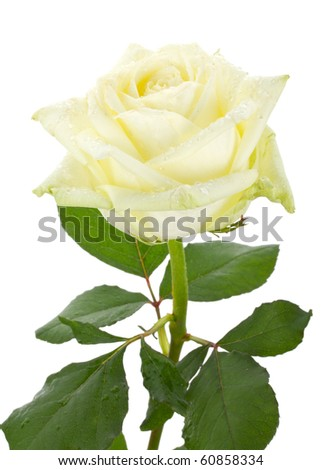 beautiful white rose - stock photo