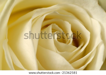 Beautiful white rose closeup. - stock photo