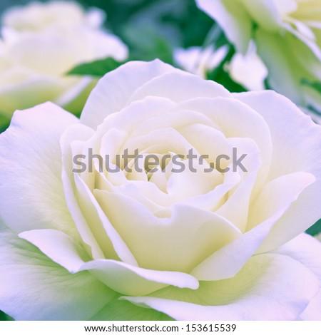 Beautiful white rose in a garden. Shallow DOF - stock photo