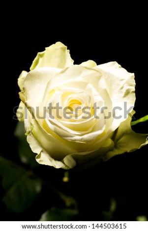 beautiful white rose isolated on black background - stock photo