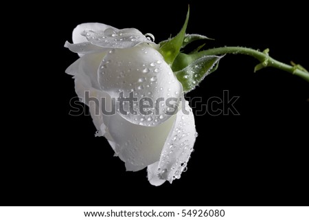 beautiful white rose on a black background - stock photo