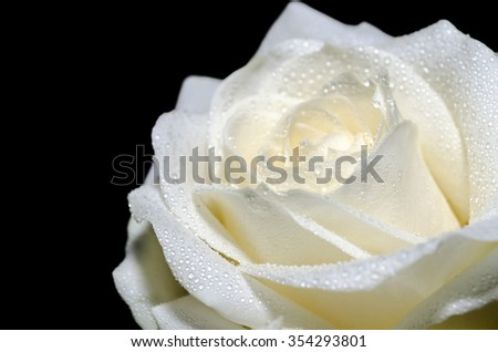 Beautiful white rose with water drops