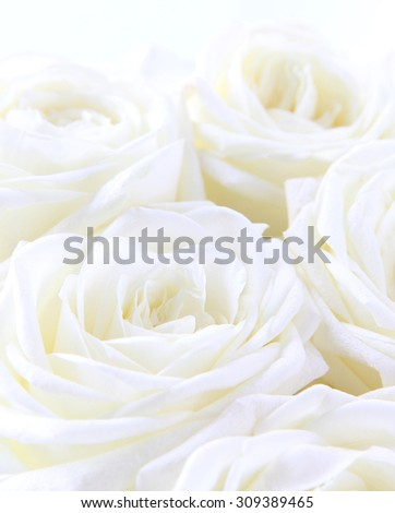 Beautiful white roses can use as wedding background. Soft focus.