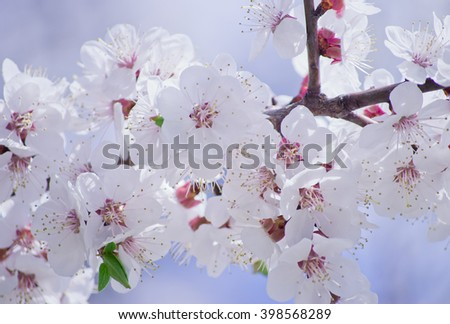 Beautiful white sakura-tree flowers in the morning mist and in the sunshine (shallow DOF) - stock photo