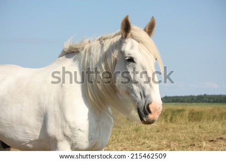Beautiful white shire horse portrait at the field