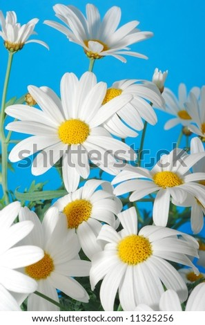 beautiful white spring marguerite against blue background