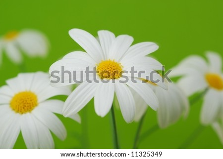 beautiful white spring marguerite against green  background - stock photo