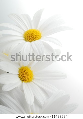 beautiful white spring marguerite against white background - stock photo