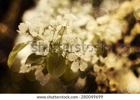 Beautiful white Spring pear tree flowers - stock photo