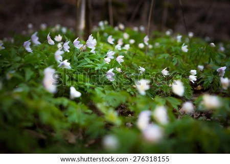 Beautiful white springtime anemones flowers. First springtime flowers blooming in forest. - stock photo