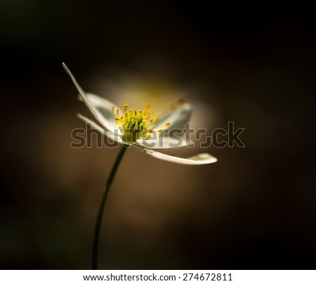 Beautiful white springtime anemones in close up. Early spring flowers. - stock photo