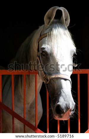 beautiful white stallion looking at the camera - stock photo