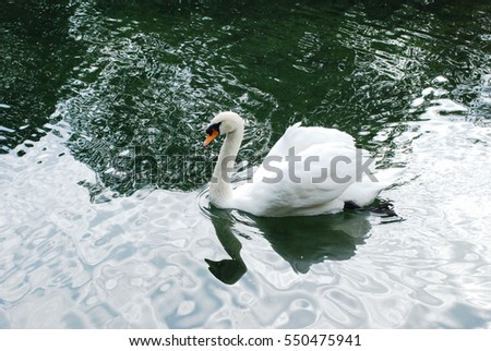 beautiful white swan in the pond with stones in high quality