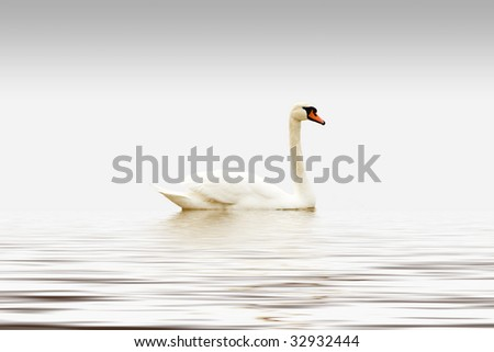 Beautiful White Swan on Gray background with reflection