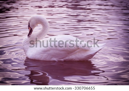 Beautiful white swan swimming on the water with reflection in pink tones - stock photo