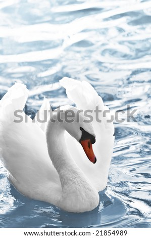 Beautiful white swan with raised wings on blue water - stock photo