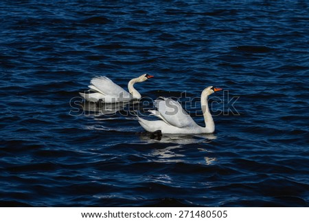 Beautiful white swans on the blue water - stock photo
