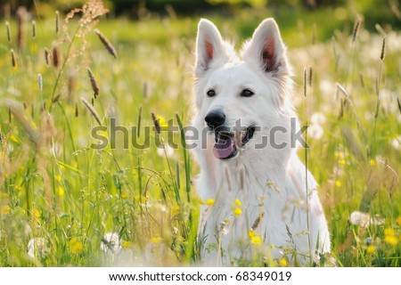 beautiful White Swiss Shepherd sits in meadow Weisser Schweizer Schäferhund Berger Blanc Suisse