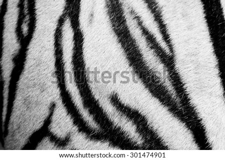 beautiful white tiger fur - colorful texture  - stock photo