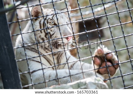 Beautiful white tiger in a cage at the zoo - stock photo
