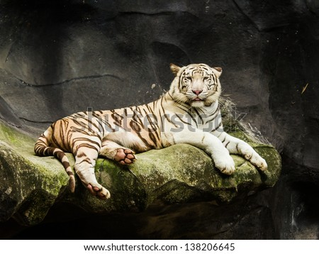 beautiful white tiger in Thailand. He is cute and smart tiger - stock photo