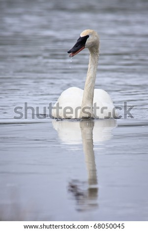 Beautiful white trumpeter swan swimming on the Madison River, Yellowstone National Park. - stock photo