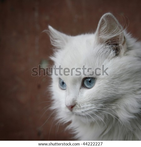 Beautiful white turkish cat White Cats With Red Eyes